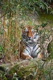 Tiger, der im Bambusdschungel sich versteckt lizenzfreie stockfotografie
