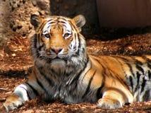 Tiger, der Kamera betrachtet stockfotografie