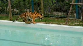 Tiger, der nahe einem blauen Pool geht stock footage