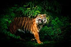 Tiger, der oben schaut Lizenzfreies Stockfoto