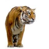 Tiger, der oben steht Lizenzfreie Stockfotos