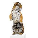 Tiger, der oben steht Lizenzfreie Stockfotografie