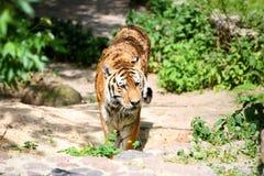 Tiger, der in Richtung zur Kamera geht Stockbilder