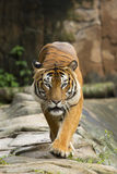 Tiger, der in Richtung zur Kamera geht Lizenzfreies Stockbild