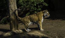 Tiger, der sein Gebiet markiert stockfotografie