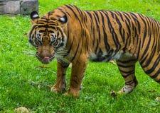 Tiger, der sein Gesicht leckt Stockbilder
