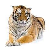 Tiger, der sich hinlegt Stockbilder