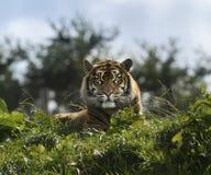 Tiger, der unten liegt, bedacht betrachtend Kamera Lizenzfreie Stockbilder