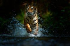 Tiger, der in Wasser läuft Gefahrentier, tajga in Russland Tier im Waldstrom Grey Stone, Flusströpfchen Tiger mit Spritzen stockfoto