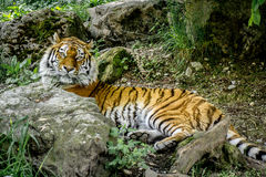 Tiger in der Wildnis stockbild