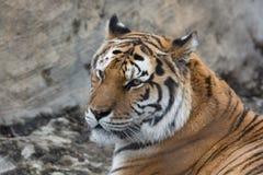 Tiger, der zur Seite schaut lizenzfreie stockbilder
