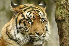 Tiger. Detail head tiger with green eye royalty free stock photos