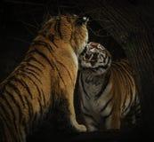 Tiger, die mit schwarzem Hintergrund kämpfen lizenzfreie stockbilder