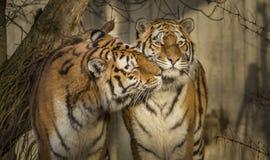 Tiger, die Nuzzling sind lizenzfreies stockbild