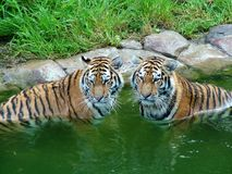 Tiger, die weg abkühlen Stockbild