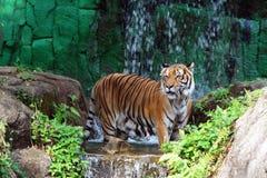 Tiger djur, tropiskt djur, djurliv Arkivbild