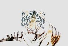 Tiger Double Exposure royaltyfri foto