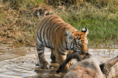 Tiger dragging prey from the waterhole. Shot of a wild bengal tiger tackling his feast Royalty Free Stock Photography