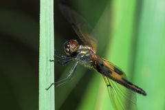 The Tiger Dragon fly Royalty Free Stock Photo