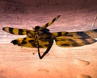 Tiger Dragonfly Royalty Free Stock Photos