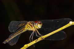 Tiger dragonfly. Royalty Free Stock Image
