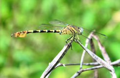 Tiger-dragonfly Stock Photo