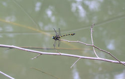 Tiger Dragonfly on branch Stock Photos