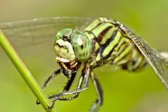 Tiger Dragonfly Chewing Insect Close up Royalty Free Stock Photo