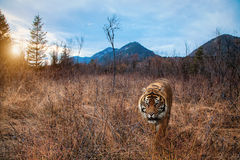 Tiger in dried out landscape. Tiger in parched landscape in search of food Royalty Free Stock Image