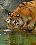 Tiger drinking. Taken at the columbus zoo Stock Images