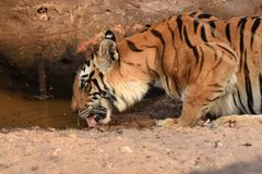 Tiger drinking. A Bengal Tiger having a drink in a waterhole at Bandhavgarh National Park in India Stock Photos