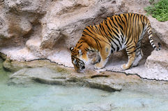 Tiger drinking from a pond Royalty Free Stock Photos