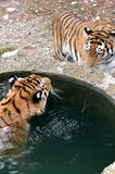 Tiger, drinking water. Royalty Free Stock Photography
