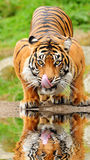 Tiger drinking water stock images