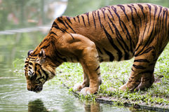 Tiger Drinking Water Royalty Free Stock Photos