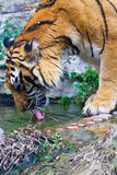 Tiger drinking water. A bengal tiger is drinking water Royalty Free Stock Photography