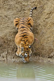 A tiger. Is drinking water Stock Photo