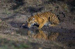Tiger. Drinking water from Nagarhole Kabini India Stock Photo
