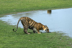 Tiger drinking water Stock Photos
