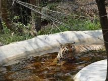Tiger drinking water rare view. Tiger on water pool. close snap of tiger at water pool Royalty Free Stock Photography