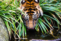 Tiger drinks between planting and bushes Stock Image