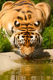 Tiger drinks water Stock Images