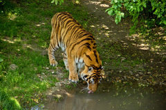 Tiger Drinks Water Royalty Free Stock Photography