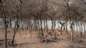 Tiger in a dry forest sitting riverside stock photos