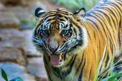 Tiger Duo Royalty-vrije Stock Afbeeldingen