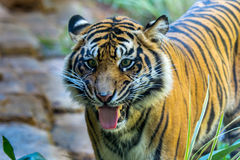 Tiger Duo Royalty Free Stock Images