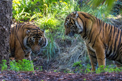 Tiger Duo Stock Photography