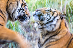 Tigers Playing Stock Photography