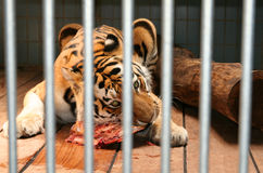 Tiger eat meat cage Stock Image