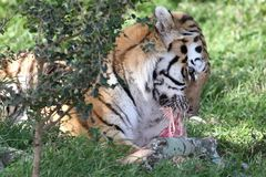 Tiger Eating Royalty Free Stock Photo